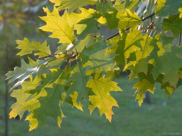 Backlit leaves in evening light.