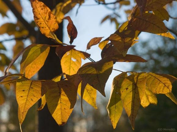 Autumn colour backlit by evening light.