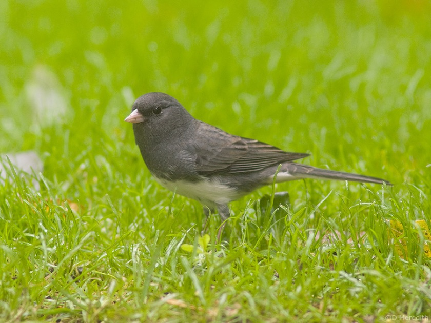 Dark-eyed Junco on autumn migration.