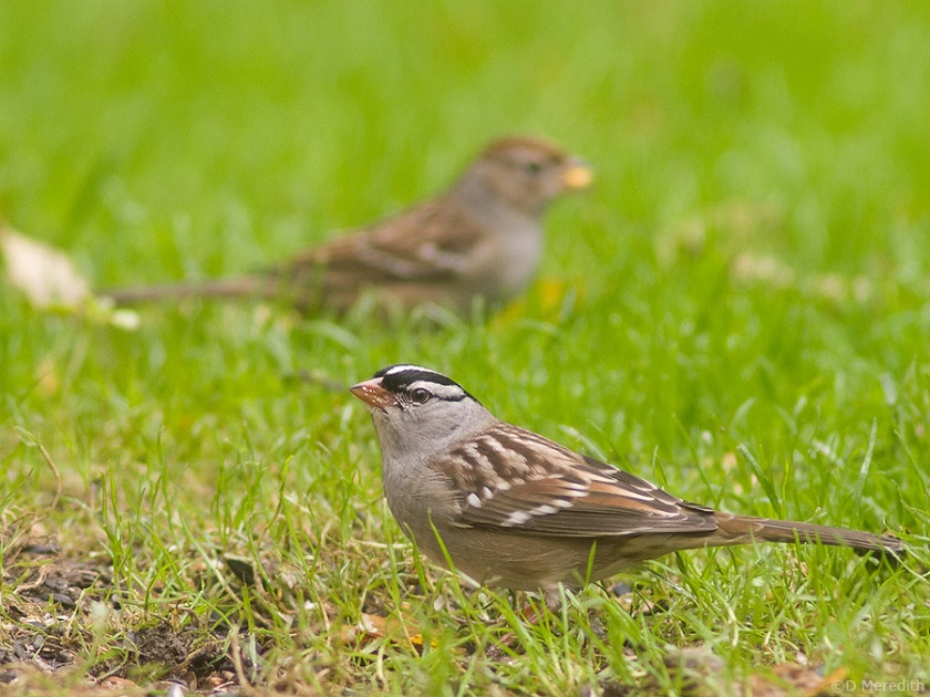 White-crowned Sparrows on autumn migration.