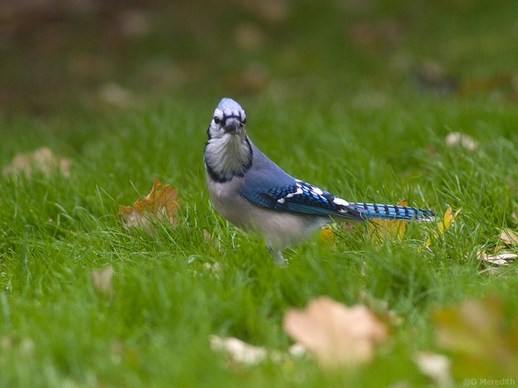 Grumpy looking Blue Jay.