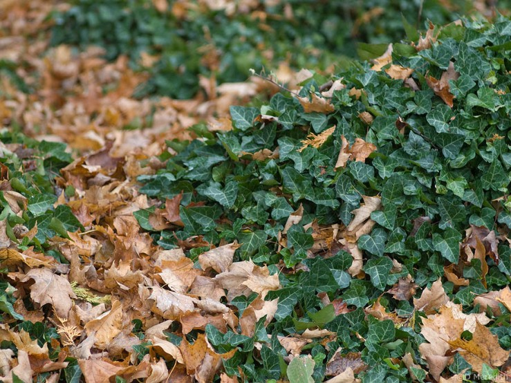 Ivy leaves and autumn leaves.