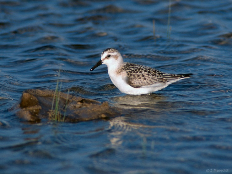 Sanderling on autumn migration.