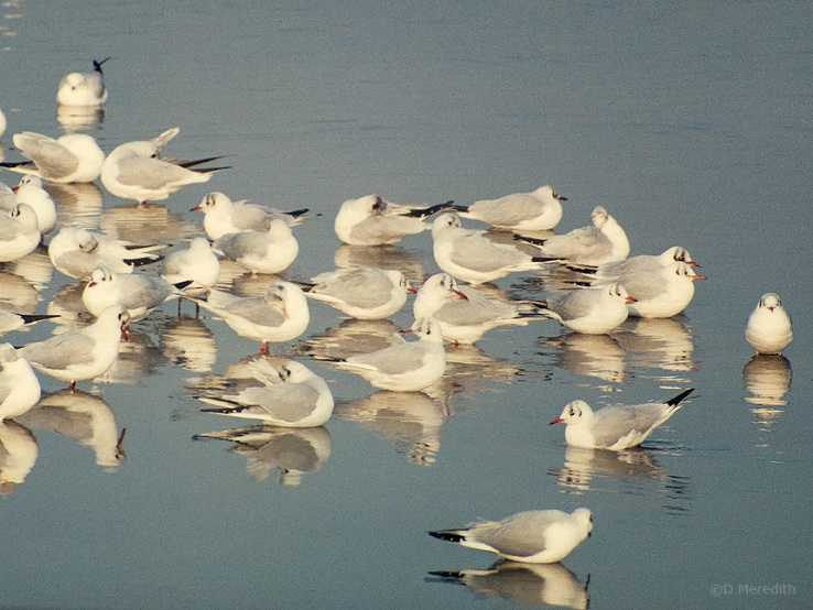 Winter plumage Black-headed Gulls.