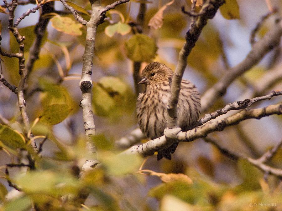 An autumn Pine Siskin.