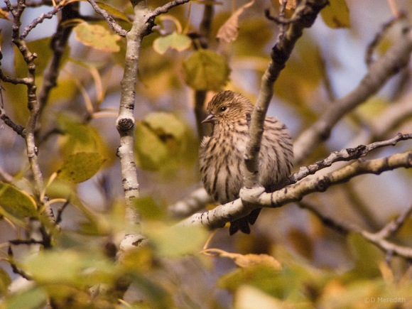 An autumn Pine Siskin.