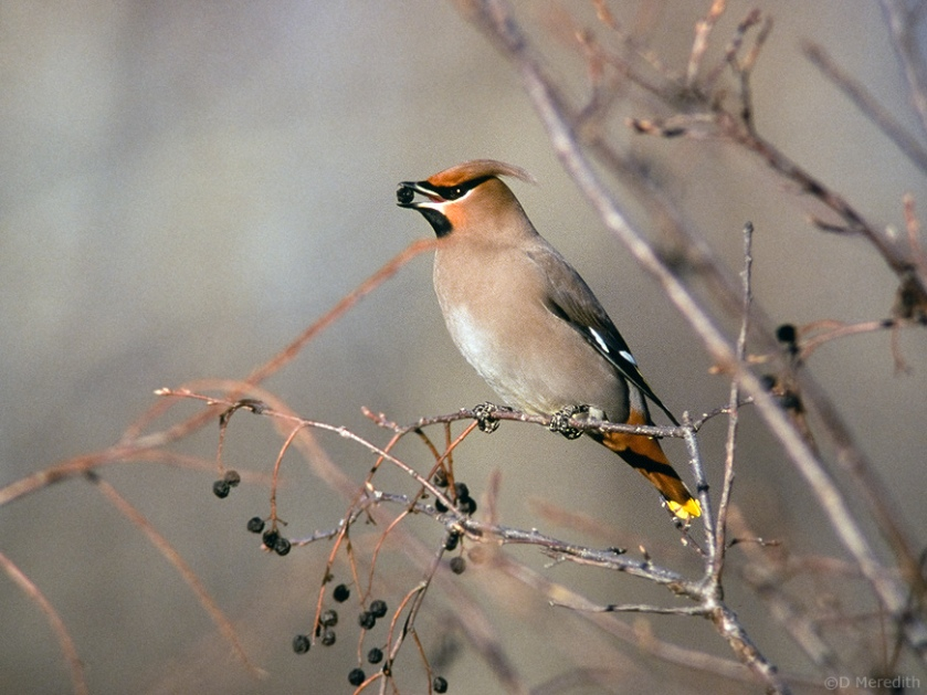 A Bohemian Waxwing at -30°C.