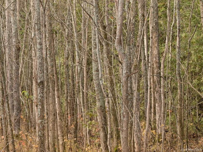 Tree trunks in the autumn.