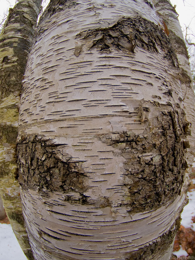 A Paper Birch trunk with a fisheye lens.