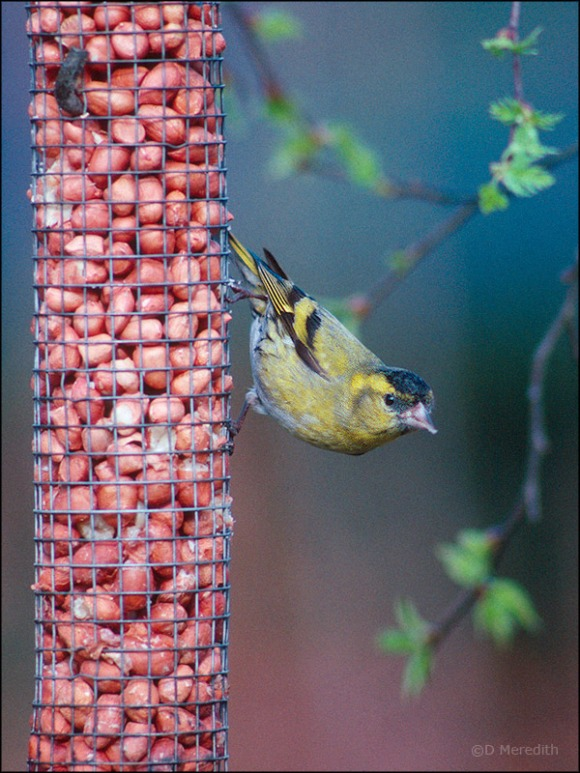Eurasian Siskin on peanuts.