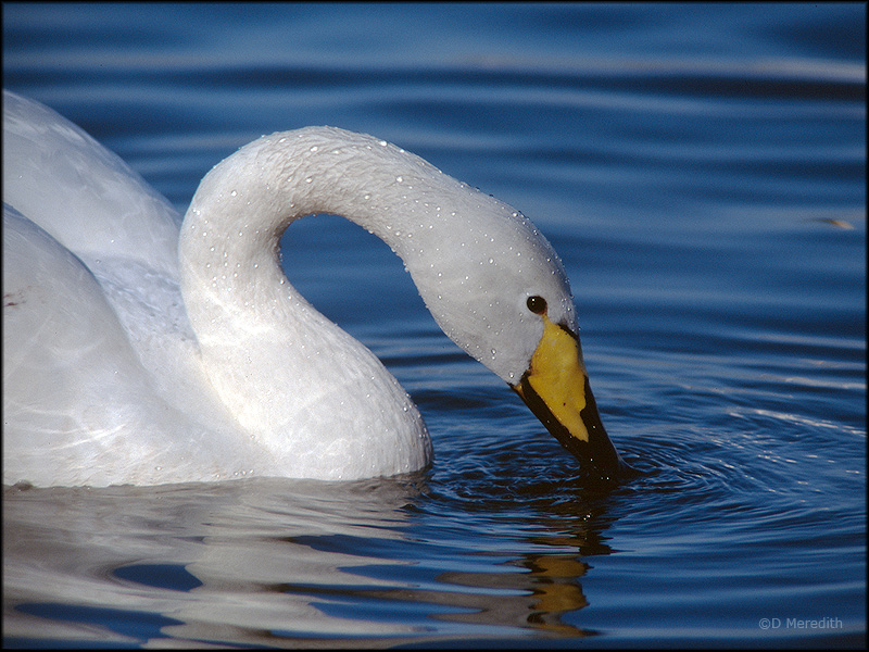 Portrait of a feeding Whooper Swan.