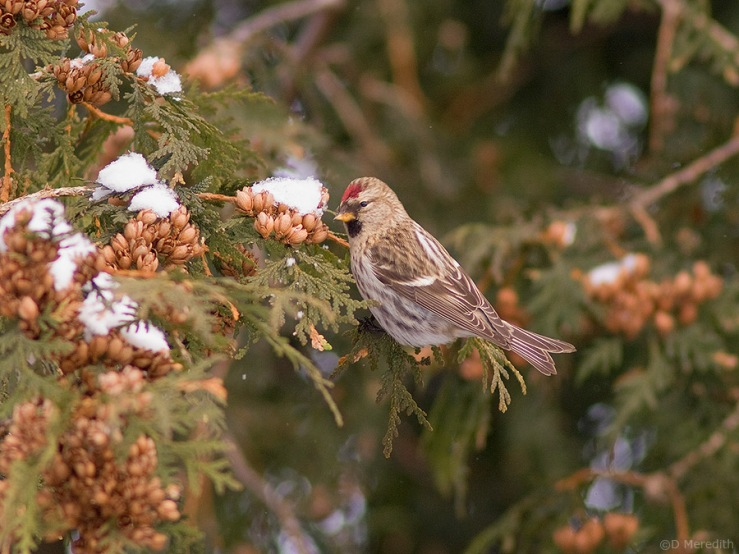 Feeding Common Redpoll.