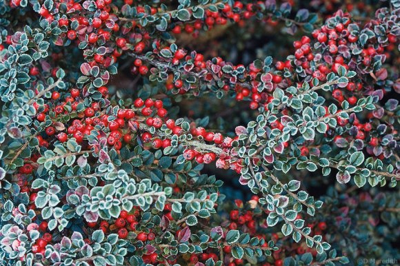 Hoarfrost on Cotoneaster berries.