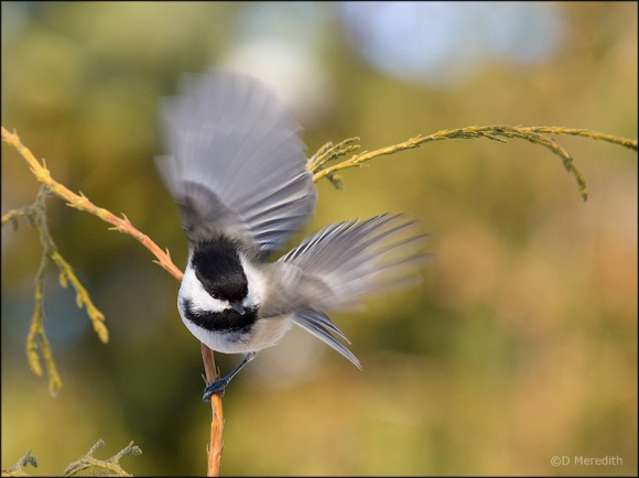 A Black-capped Chickadee taking off.