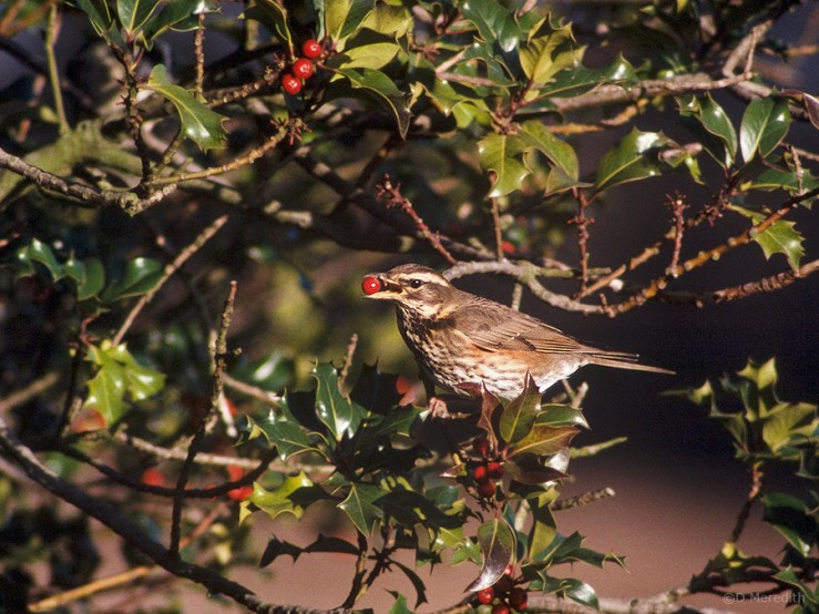 A Redwing in a Holly tree.