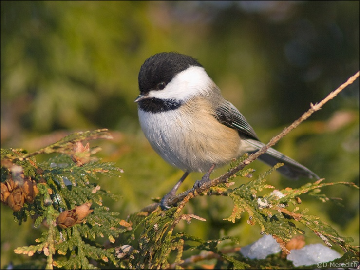 Black-capped Chickadee in the winter.