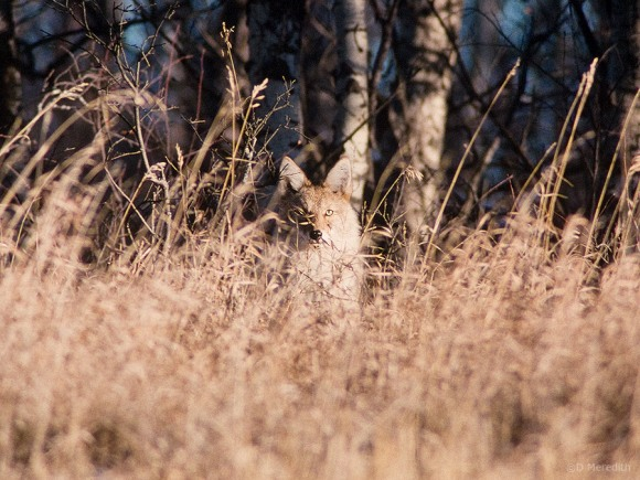 A Coyote watches the photographer.