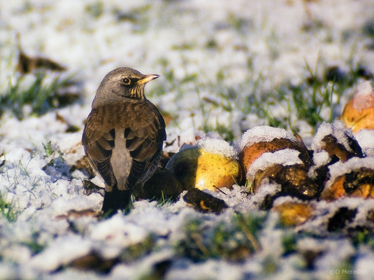 Wintering Fieldfare in an orchard.