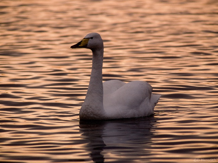 Sunset Whooper Swan.