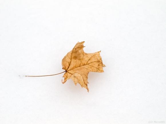 Maple leaf on fresh snow.