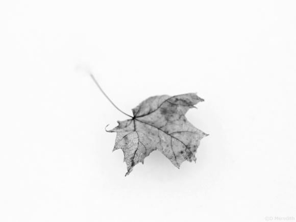 Minimalist Maple leaf.