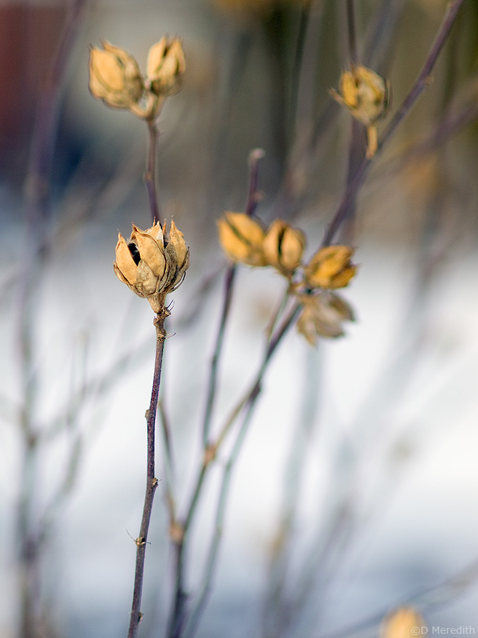 Some seed heads in winter.