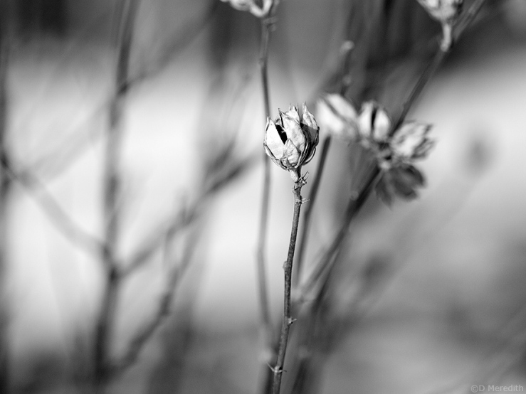 Seed head in winter.