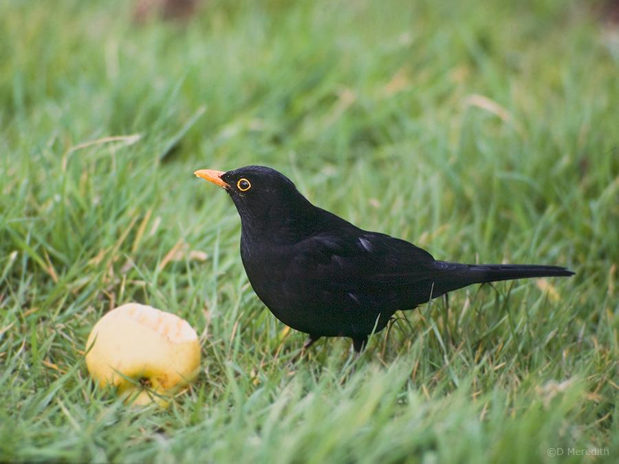 Male Eurasian Blackbird.