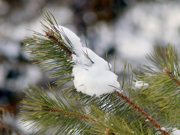 Pine branch with snow.