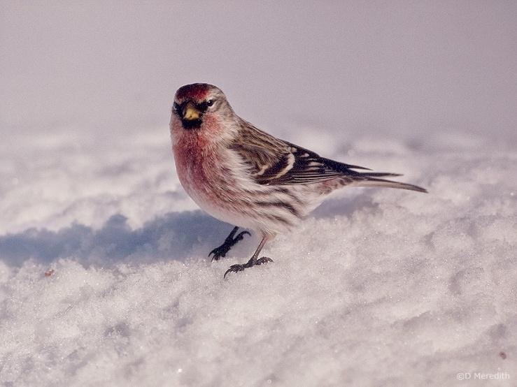Common Redpoll on snow.