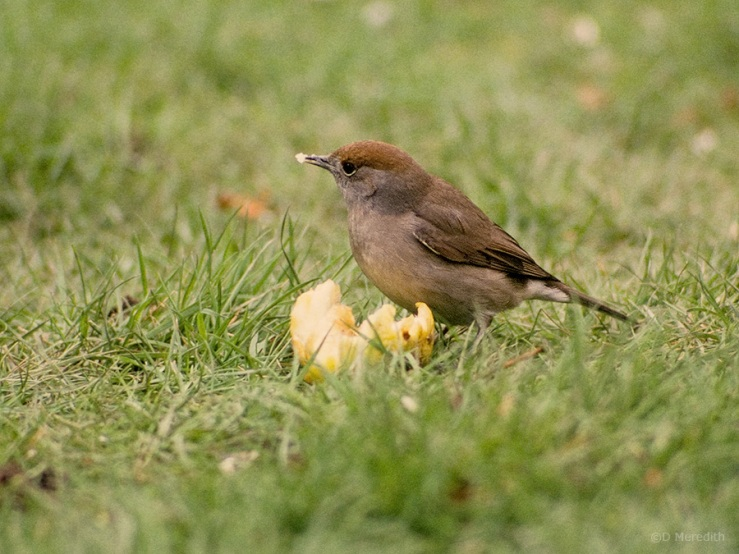 Wintering female Blackcap.