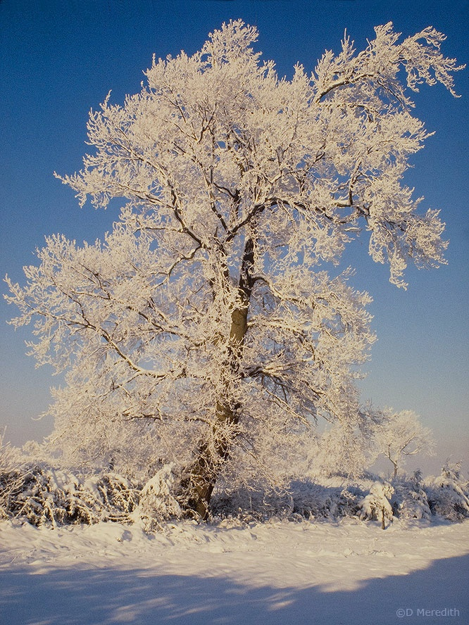 Hoarfrost and snow covered Oak tree.