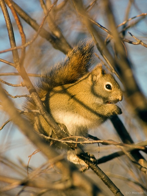 Eastern Gray Squirrel with frost on its tail.
