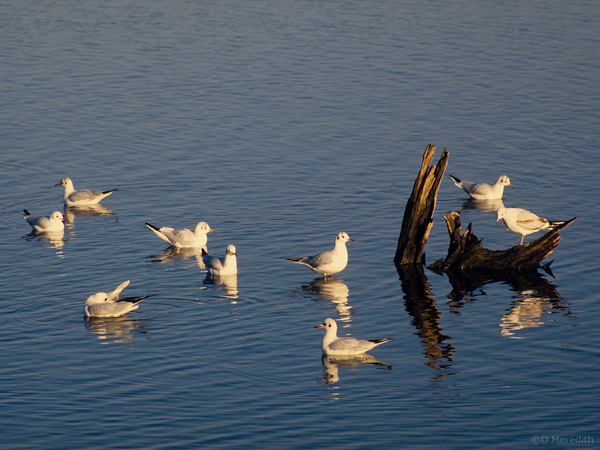 Winter plumage Black-headed Gulls.