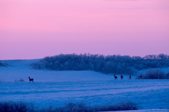 Winter White-tailed Deer at dusk.