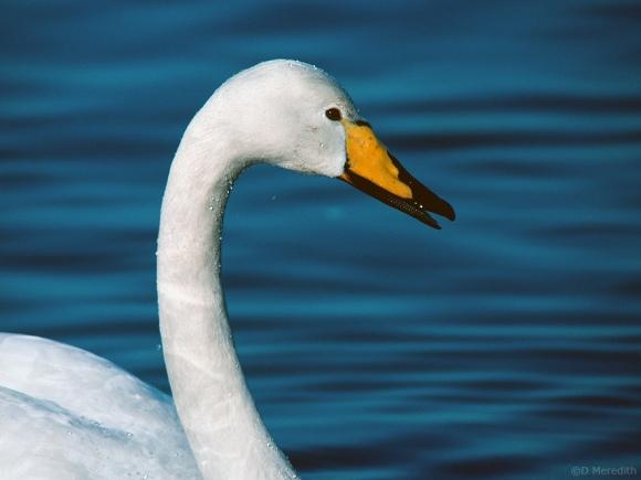 Portrait of a Whooper Swan.