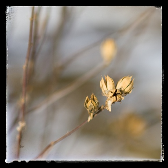 Winter seed pods.