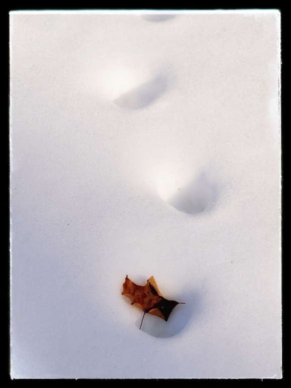 Trapped Maple leaf.