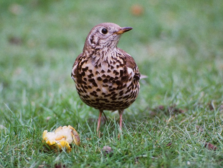 A Mistle Thrush in an orchard.