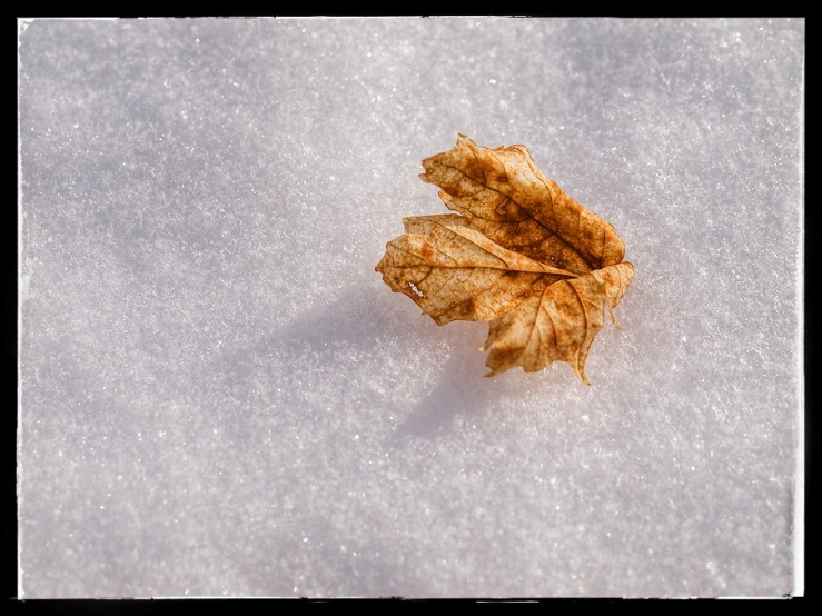 Maple leaf on snow.