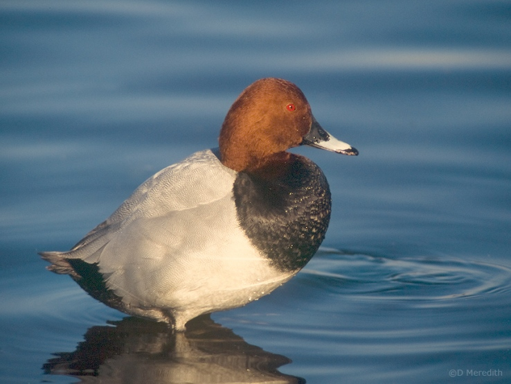 Common Pochard male in the winter.