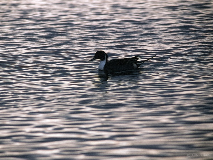 Northern Pintail male and ripples.