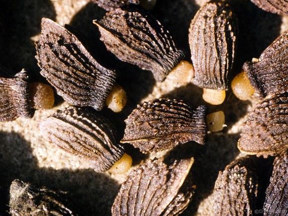Borage plant seeds.