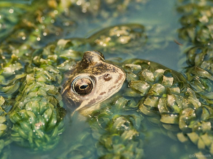 Eye of the frog.