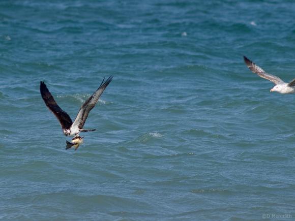 Herring Gull harassing an Osprey.