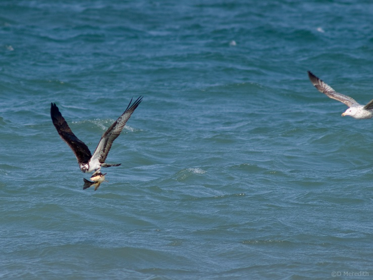 Herring Gull harassing an Osprey.