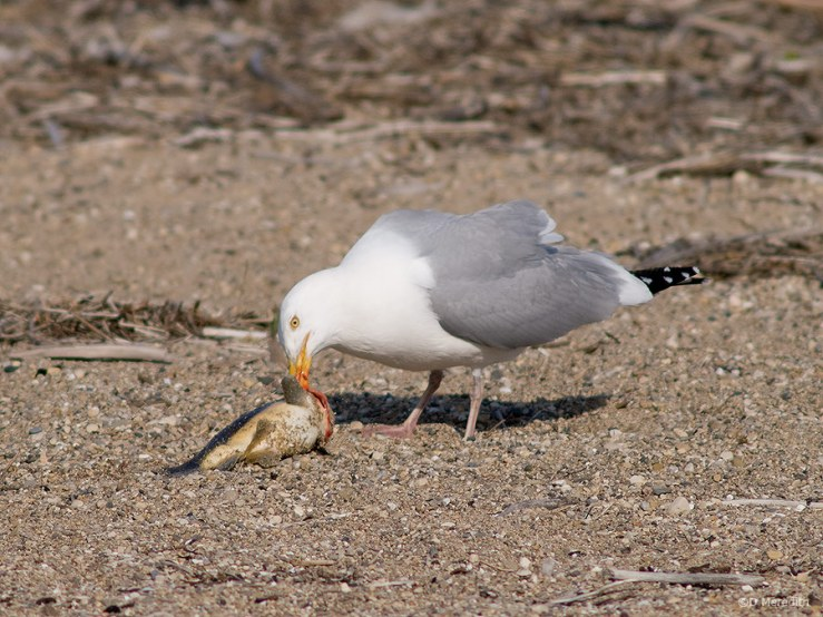 American Herring Gull with a fish.