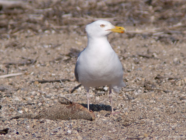 American Herring Gull guarding a fish.