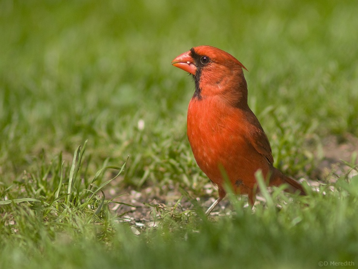 Northern Cardinal male feeding.