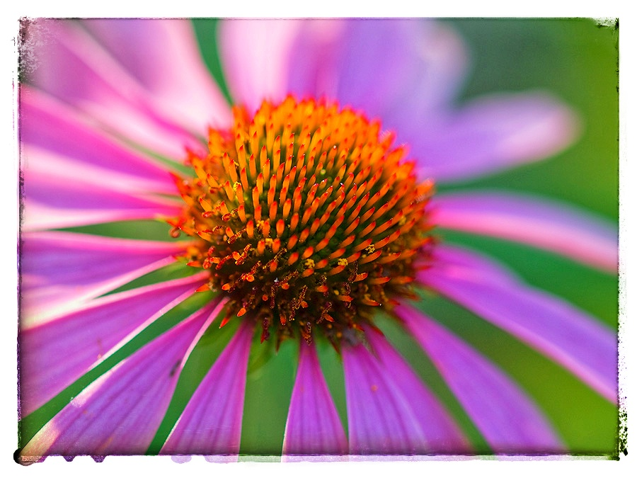 Florescent Coneflower.